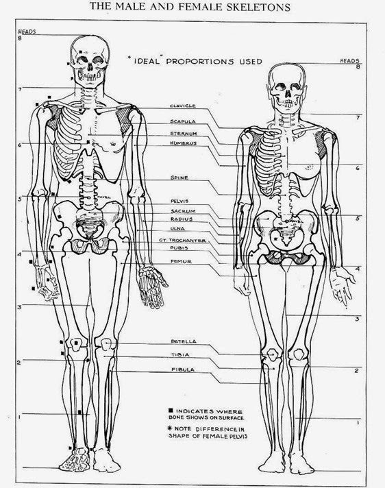 difference between male and female skeleton | major differences, Skeleton
