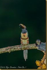Collared Aticari - Pteroglossus torquqtus,