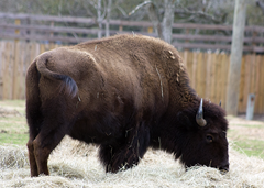 Bison Exotic Game Park