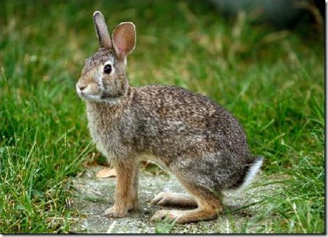 Conejo comun