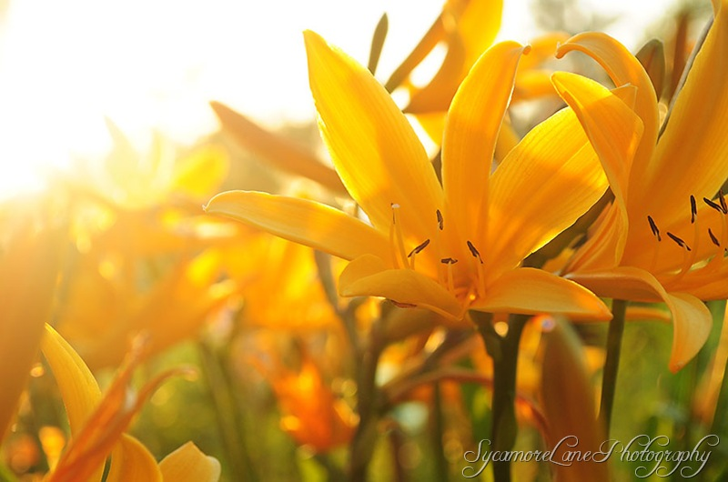 lilies-sunset-w