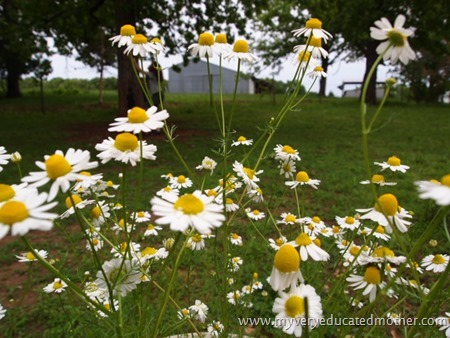 #garden #chamomile #herbs