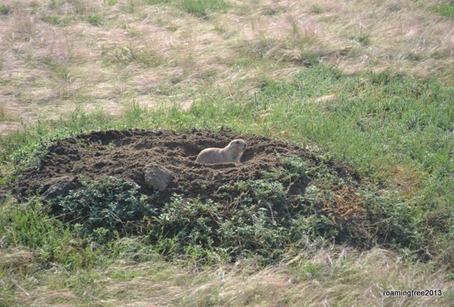 Busy little prairie dog!