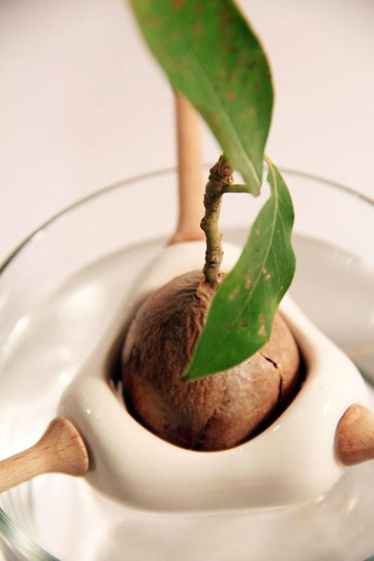 Plantador de abacate 02