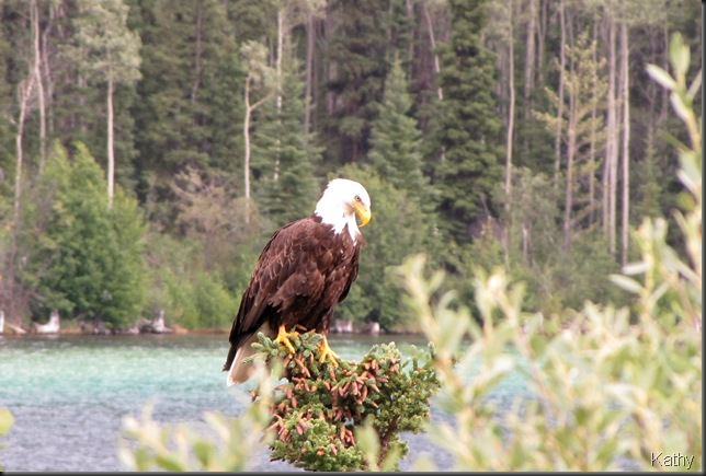 Bald Eagle perched beside lake
