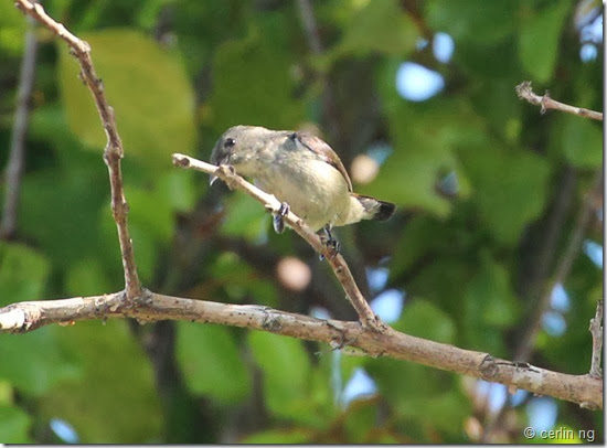 female scarlet back flowerpecker