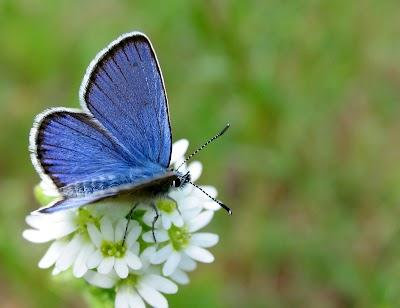Foranderlig blåfugl - han5.jpg