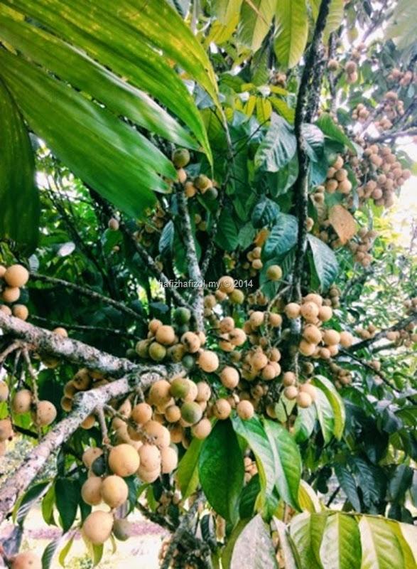 gambar pokok buah duku