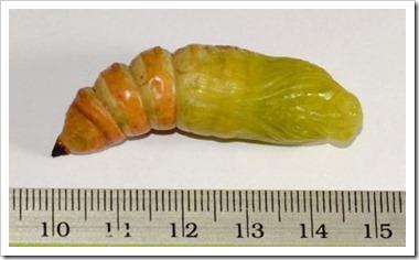 Acherontia lachesis-20120118_DN46
