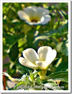 Turnera subulata_Bunga Pukul Delapan_White Alder 2