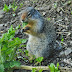 Columbian.ground.squirrel.dscn4725