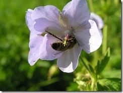 včely na květu a matečniky 071