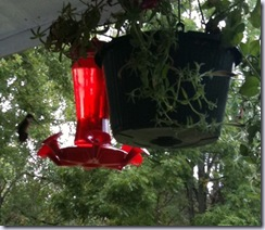 hummingbirds twelve
