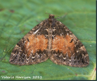 common-marbled-carpet (3)