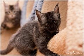 Фото история котят мейн кун в возрасте 7,5 недель 12