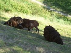 2013.08.04-045 moutons d'Ouessant