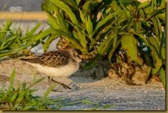 Semipalmated Sandpiper - Calidris pusilla,