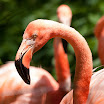 Caribbean Flamingo at the Bronx Zoo