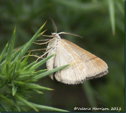 July Belle moth