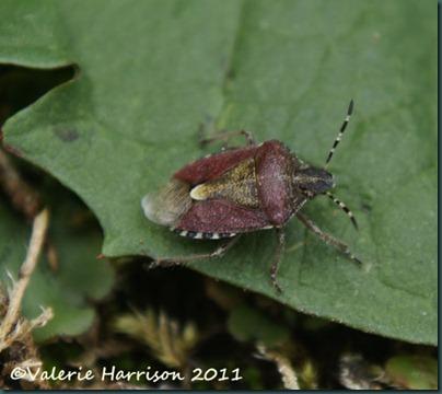 sloe-bug