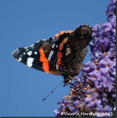 red-admiral-side