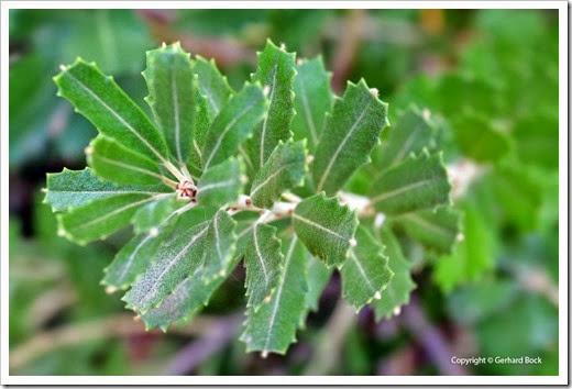 131124_UCD_Arboretum_Banksia-praemorsa_02
