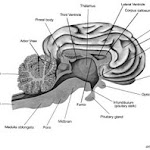 brain_lateral_view04.jpg