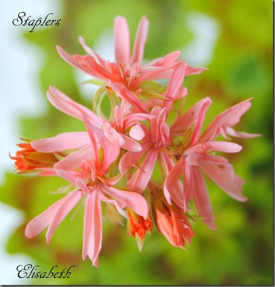 Pelargonium juni-11 074