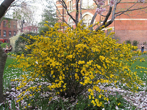 Kerria japonica - this shrub can look rangy when left to its own devices, but I think it is worth growing and pruning properly. These pretty yellow flowers stick around for a long time, the little toothed leaves are nice, and the plant has attractive bright green stems
