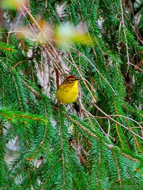 14. palm warbler-kab