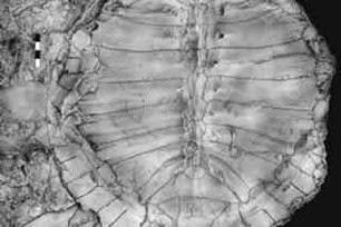 fóssil-de-tartaruga