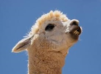 Amazing Pictures of Animals, photo, Nature exotic, funny, incredibel, Zoo, Vicugna pacos, Alpaca, Alex (24)