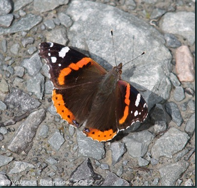 54-red-admiral