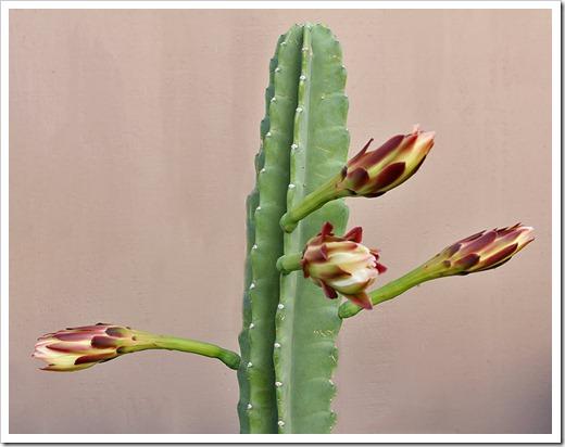 110816_Cereus-hildmannianus-subsp-hildmannianus-3-flowers_01