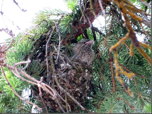 Fledgling Cowbird in Ruby-Crowned Kinglet nest