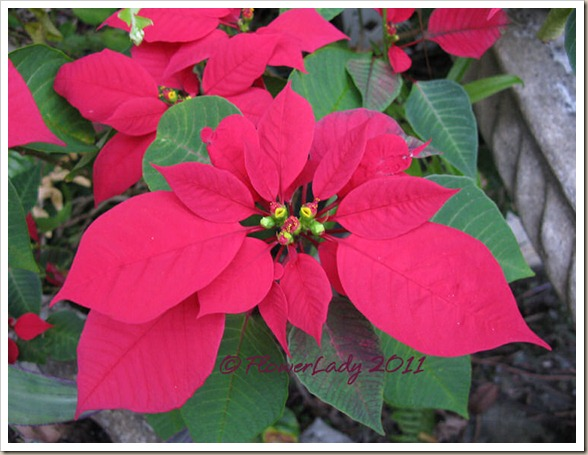 12-16-poinsettia2