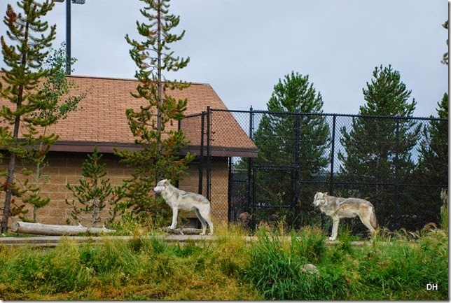 08-06-14 Grizzly and Wolf Discovery Center (203)