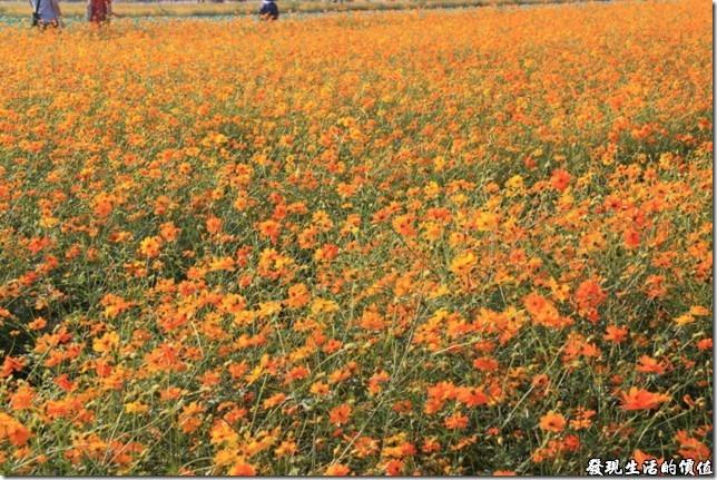 沒有向日葵,那來個一整片的黃色波斯菊吧!夠壯觀了吧,可以一補沒有找到向日葵的缺憾。