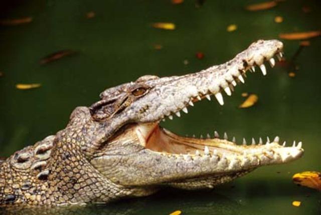 crocodile%20jawswp