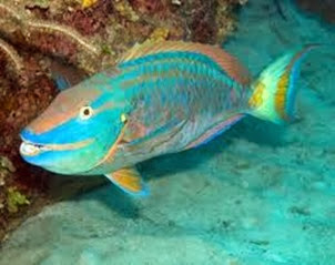 Amazing Pictures of Animals, Photo, Nature, Incredibel, Funny, Zoo, Parrotfish, Scaridae, Fish, Alex (5)