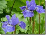 dp irises