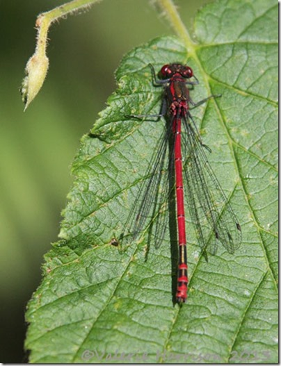 16-Large-Red-Damselfly