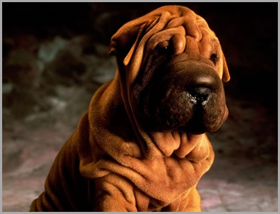 Shar-Pei-wallpaper-2