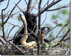 Cormorant and chicks on Anhinga Trail