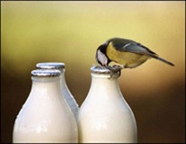 blue tit milk bottle