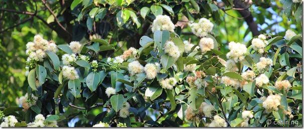 syzygium grande flower