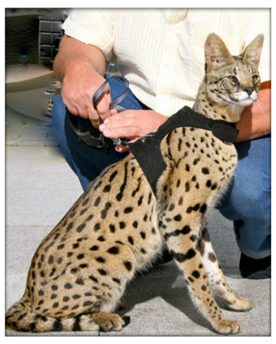 Amazing Pictures of Animals, Photo, Nature, Incredibel, Funny, Zoo,  Savannah cat,  domestic hybrid cat, Alex (1)