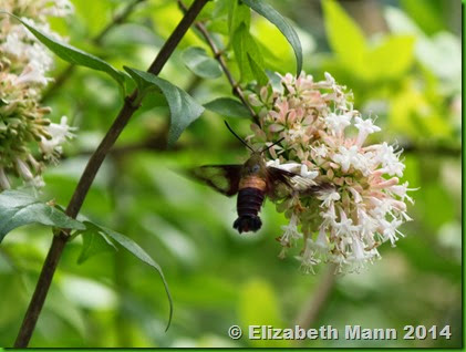 49-Hummingbird moth2
