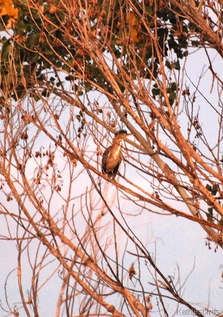 17. green heron-kab