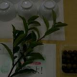 お茶の木と茶の実です。.jpg